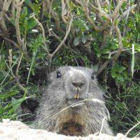 Quelle belle marmotte !!!